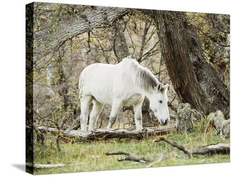 Wild Horses, El Calafate, Patagonia, Argentina, South America-Mark Chivers-Stretched Canvas Print
