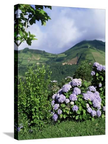 Hydrangeas in Bloom, Island of Sao Miguel, Azores, Portugal-David Lomax-Stretched Canvas Print