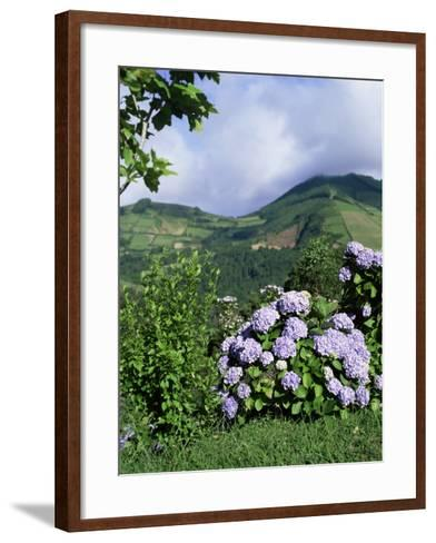 Hydrangeas in Bloom, Island of Sao Miguel, Azores, Portugal-David Lomax-Framed Art Print