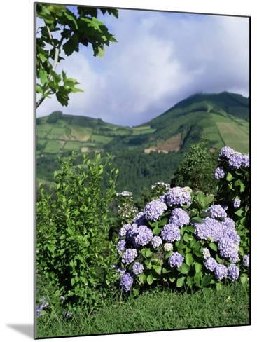 Hydrangeas in Bloom, Island of Sao Miguel, Azores, Portugal-David Lomax-Mounted Photographic Print