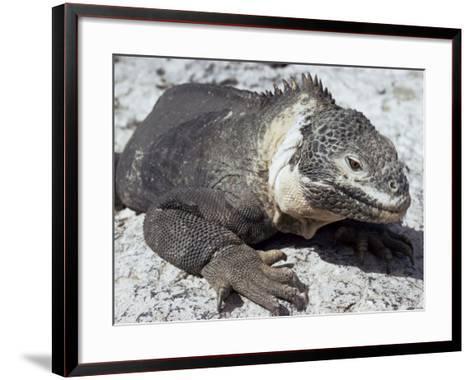 Land Iguana, Plaza Island, Galapagos Islands, Ecuador, South America-Walter Rawlings-Framed Art Print