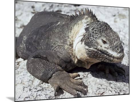 Land Iguana, Plaza Island, Galapagos Islands, Ecuador, South America-Walter Rawlings-Mounted Photographic Print