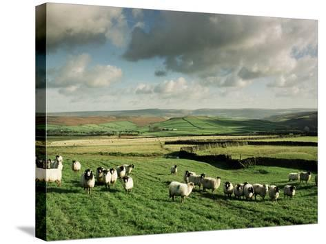 Sheep on Abney Moor on an Autumn Morning, Peak District National Park, Derbyshire, England-David Hughes-Stretched Canvas Print