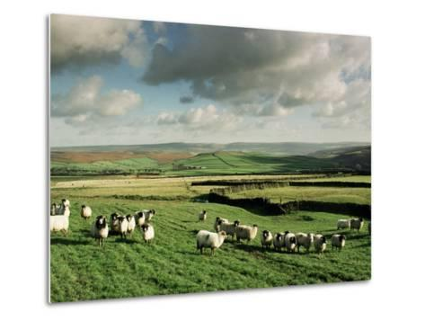 Sheep on Abney Moor on an Autumn Morning, Peak District National Park, Derbyshire, England-David Hughes-Metal Print