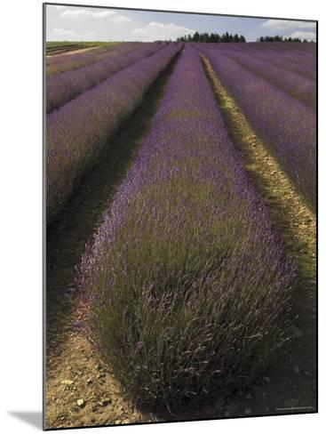 Snowshill Lavender Farm, Gloucestershire, the Cotswolds, England, United Kingdom-David Hughes-Mounted Photographic Print