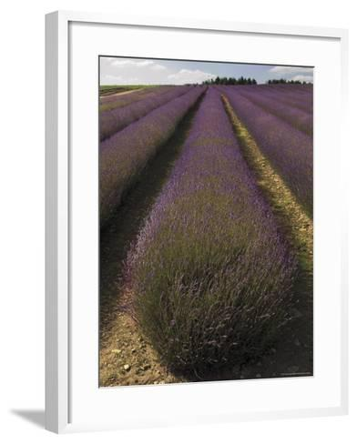 Snowshill Lavender Farm, Gloucestershire, the Cotswolds, England, United Kingdom-David Hughes-Framed Art Print