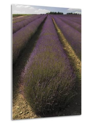 Snowshill Lavender Farm, Gloucestershire, the Cotswolds, England, United Kingdom-David Hughes-Metal Print