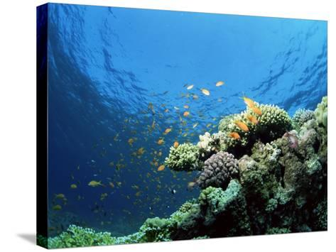 Sunlit Reef Top with Hard Corals and Anthias, Red Sea, Egypt, North Africa, Africa-Lousie Murray-Stretched Canvas Print