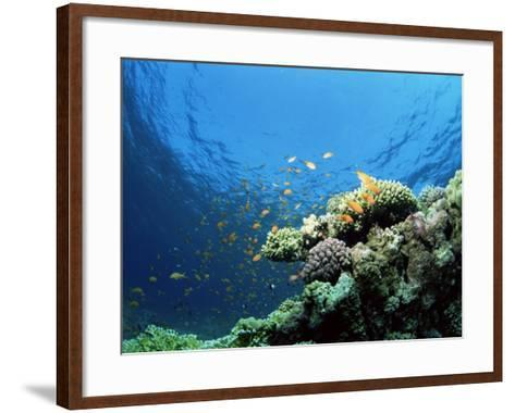 Sunlit Reef Top with Hard Corals and Anthias, Red Sea, Egypt, North Africa, Africa-Lousie Murray-Framed Art Print