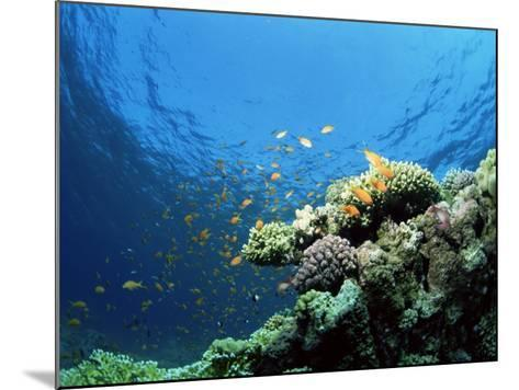 Sunlit Reef Top with Hard Corals and Anthias, Red Sea, Egypt, North Africa, Africa-Lousie Murray-Mounted Photographic Print