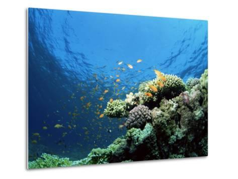 Sunlit Reef Top with Hard Corals and Anthias, Red Sea, Egypt, North Africa, Africa-Lousie Murray-Metal Print
