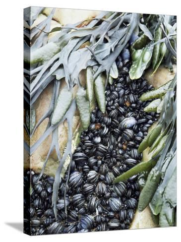 Mussels and Seaweed on the Tidal Seashore, Cullen, Scotland, United Kingdom-Lousie Murray-Stretched Canvas Print