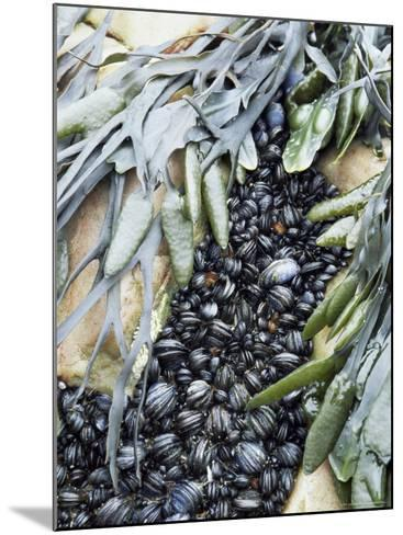 Mussels and Seaweed on the Tidal Seashore, Cullen, Scotland, United Kingdom-Lousie Murray-Mounted Photographic Print