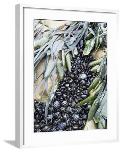 Mussels and Seaweed on the Tidal Seashore, Cullen, Scotland, United Kingdom-Lousie Murray-Framed Art Print