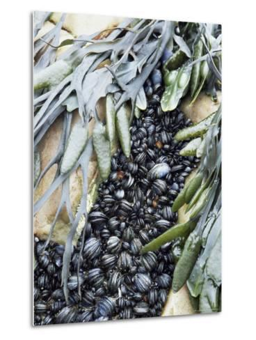 Mussels and Seaweed on the Tidal Seashore, Cullen, Scotland, United Kingdom-Lousie Murray-Metal Print