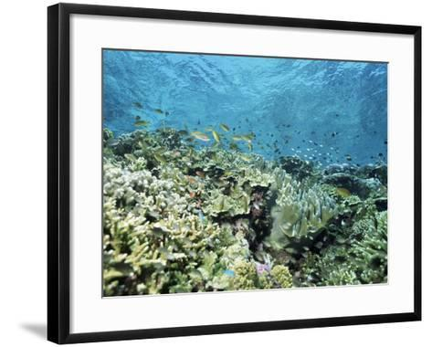 Shallow Top of the Reef is Nursery for Young Fish, Sabah, Malaysia, Southeast Asia-Lousie Murray-Framed Art Print