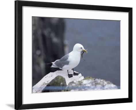 Kittiwake, Pembrokeshire, Wales, United Kingdom-Roy Rainford-Framed Art Print