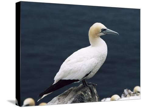 Gannet Perched on Rock, Bass Rock, East Lothian, Scotland, United Kingdom-Roy Rainford-Stretched Canvas Print