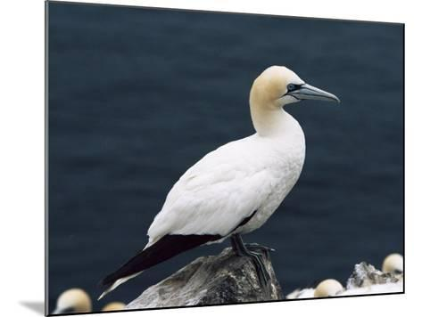 Gannet Perched on Rock, Bass Rock, East Lothian, Scotland, United Kingdom-Roy Rainford-Mounted Photographic Print