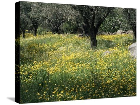 Olive Grove with Wild Flowers, Lesbos, Greece-Roy Rainford-Stretched Canvas Print