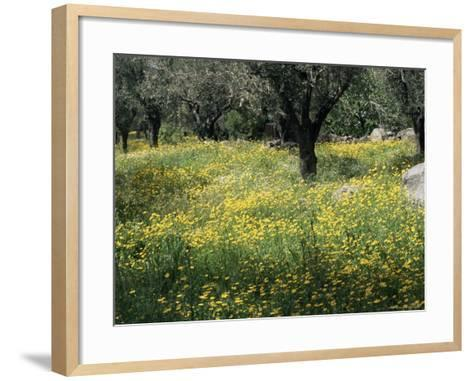 Olive Grove with Wild Flowers, Lesbos, Greece-Roy Rainford-Framed Art Print