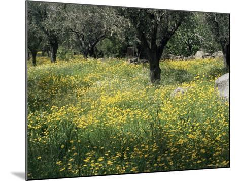Olive Grove with Wild Flowers, Lesbos, Greece-Roy Rainford-Mounted Photographic Print