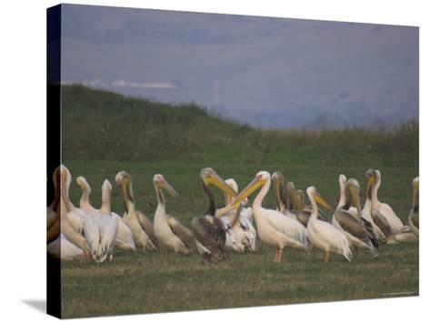 Group of Pelicans Resting on the Ground at Dusk, Galilee Panhandle, Middle East-Eitan Simanor-Stretched Canvas Print