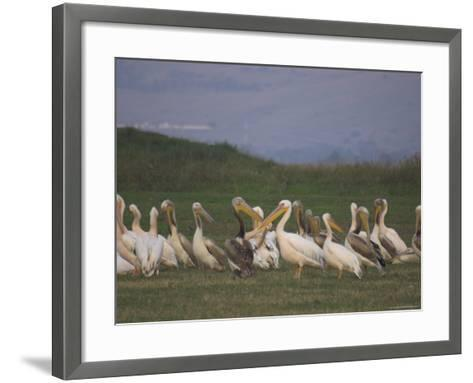 Group of Pelicans Resting on the Ground at Dusk, Galilee Panhandle, Middle East-Eitan Simanor-Framed Art Print