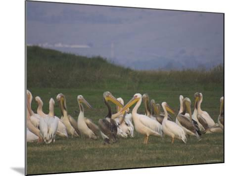 Group of Pelicans Resting on the Ground at Dusk, Galilee Panhandle, Middle East-Eitan Simanor-Mounted Photographic Print