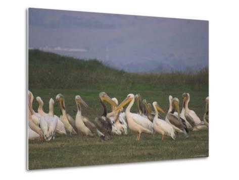Group of Pelicans Resting on the Ground at Dusk, Galilee Panhandle, Middle East-Eitan Simanor-Metal Print