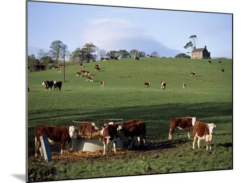 Cattle, South of Bray, County Wicklow, Leinster, Eire (Republic of Ireland)-Michael Short-Mounted Photographic Print