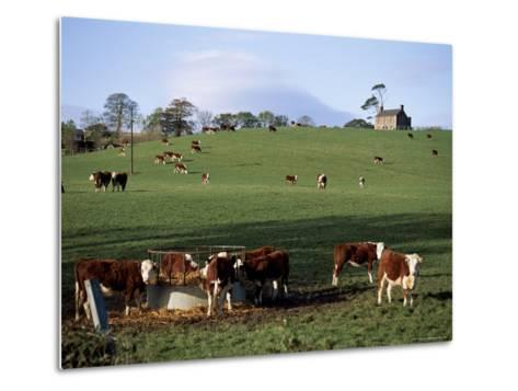 Cattle, South of Bray, County Wicklow, Leinster, Eire (Republic of Ireland)-Michael Short-Metal Print