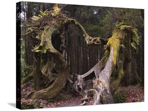 Giant Tree Trunk in Cedar Forest, Alishan National Forest Recreation Area, Chiayi County, Taiwan-Christian Kober-Stretched Canvas Print