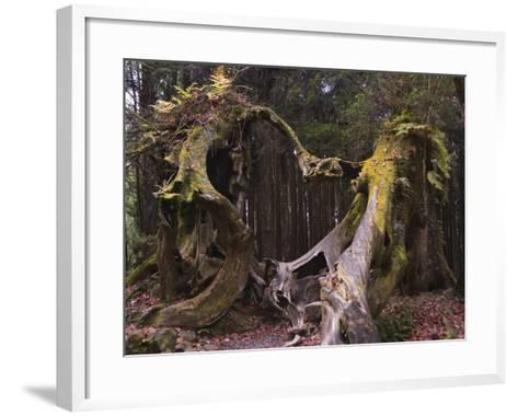 Giant Tree Trunk in Cedar Forest, Alishan National Forest Recreation Area, Chiayi County, Taiwan-Christian Kober-Framed Art Print