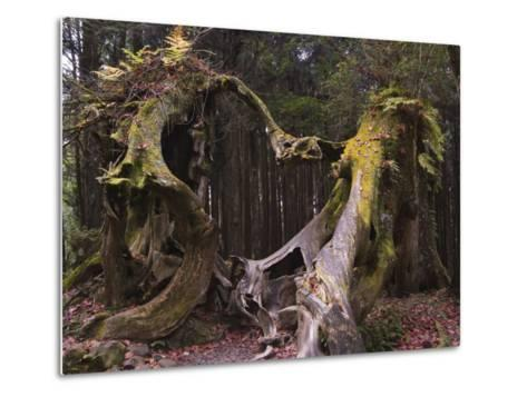 Giant Tree Trunk in Cedar Forest, Alishan National Forest Recreation Area, Chiayi County, Taiwan-Christian Kober-Metal Print
