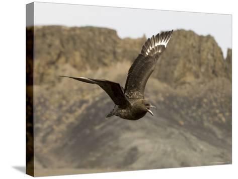 South Polar Skua (Stercorarius Maccormicki), Telephone Bay, Deception Island, Antarctica-Sergio Pitamitz-Stretched Canvas Print