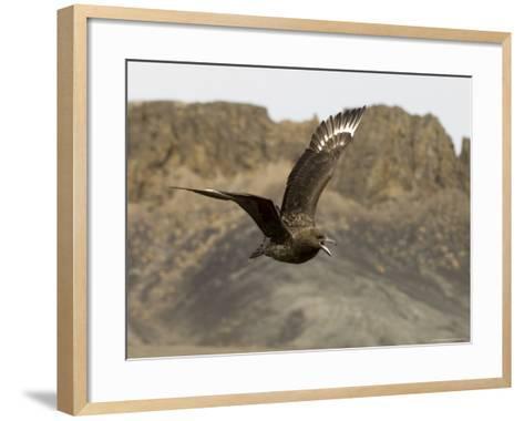South Polar Skua (Stercorarius Maccormicki), Telephone Bay, Deception Island, Antarctica-Sergio Pitamitz-Framed Art Print