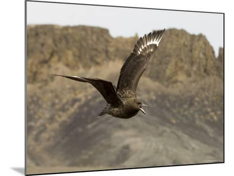 South Polar Skua (Stercorarius Maccormicki), Telephone Bay, Deception Island, Antarctica-Sergio Pitamitz-Mounted Photographic Print