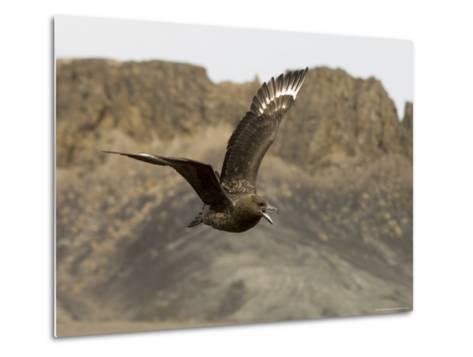 South Polar Skua (Stercorarius Maccormicki), Telephone Bay, Deception Island, Antarctica-Sergio Pitamitz-Metal Print