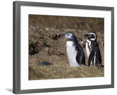 Magellanic Penguin Colony, Seno Otway, Patagonia, Chile, South America-Sergio Pitamitz-Framed Art Print