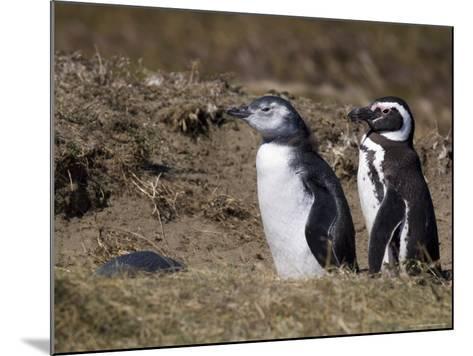 Magellanic Penguin Colony, Seno Otway, Patagonia, Chile, South America-Sergio Pitamitz-Mounted Photographic Print