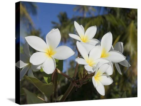 Frangipani Flowers, Fakarawa, Tuamotu Archipelago, French Polynesia Islands-Sergio Pitamitz-Stretched Canvas Print