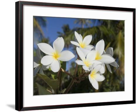 Frangipani Flowers, Fakarawa, Tuamotu Archipelago, French Polynesia Islands-Sergio Pitamitz-Framed Art Print