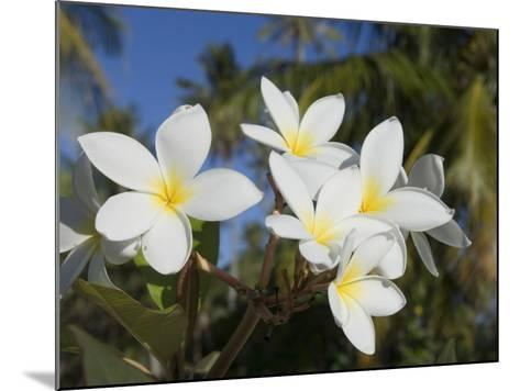 Frangipani Flowers, Fakarawa, Tuamotu Archipelago, French Polynesia Islands-Sergio Pitamitz-Mounted Photographic Print