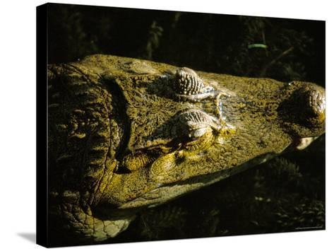 Close-Up of the Head of a Common Caiman, River Chagres, Soberania Forest National Park, Panama-Sergio Pitamitz-Stretched Canvas Print
