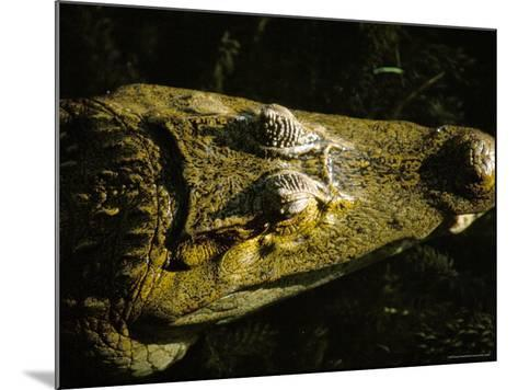 Close-Up of the Head of a Common Caiman, River Chagres, Soberania Forest National Park, Panama-Sergio Pitamitz-Mounted Photographic Print