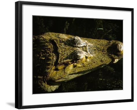 Close-Up of the Head of a Common Caiman, River Chagres, Soberania Forest National Park, Panama-Sergio Pitamitz-Framed Art Print