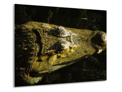Close-Up of the Head of a Common Caiman, River Chagres, Soberania Forest National Park, Panama-Sergio Pitamitz-Metal Print