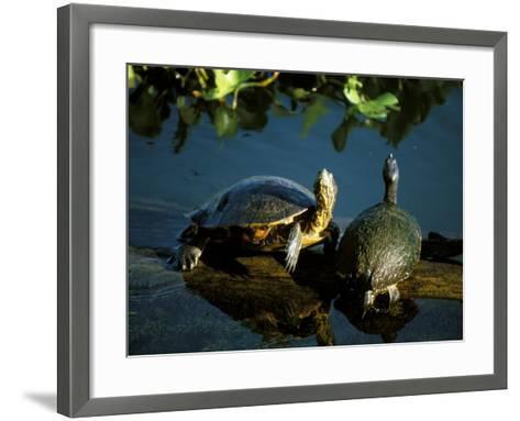 Mesoamerican Slider Turtles, River Chagres, Soberania Forest National Park, Panama-Sergio Pitamitz-Framed Art Print