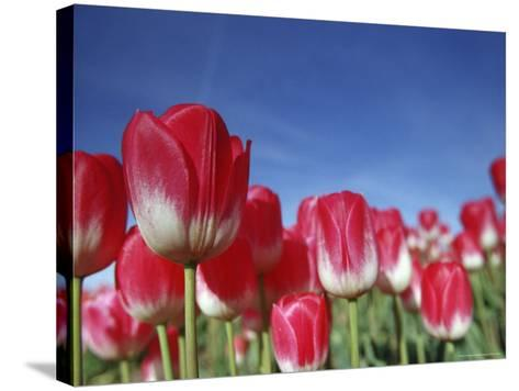 Tulipa Species, Alkmaar, Holland (Netherlands)-Thorsten Milse-Stretched Canvas Print
